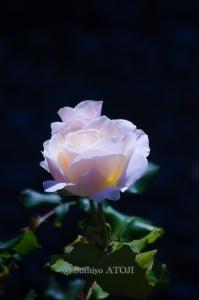 薔薇園-038