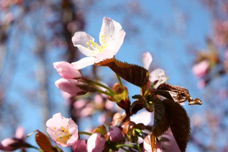 25-5-12の桜