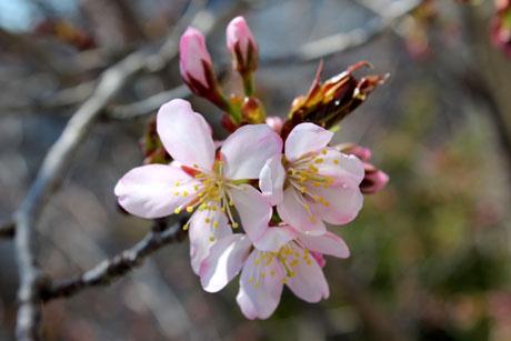 可愛い桜。蝦夷山桜