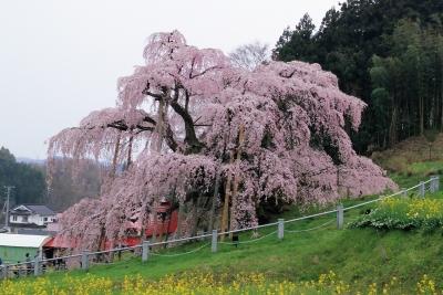 滝桜2015-4-16arw