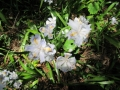 シャガの花(拡大)