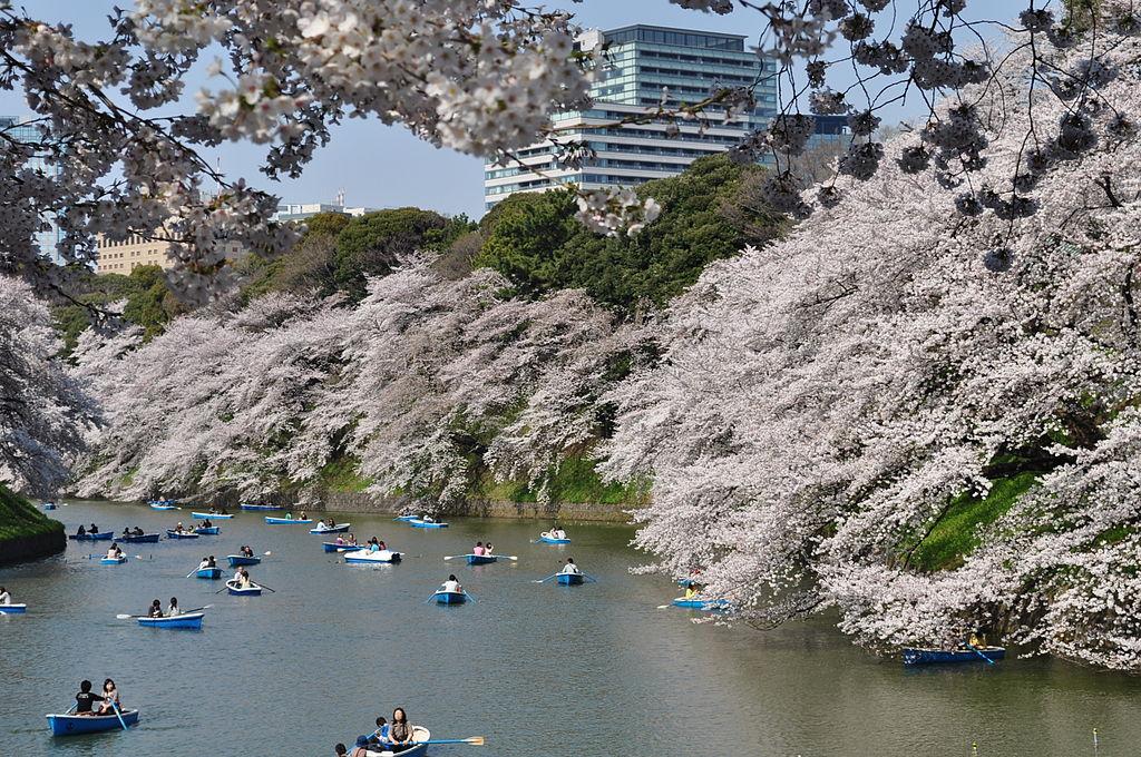 千鳥ヶ淵の桜_1