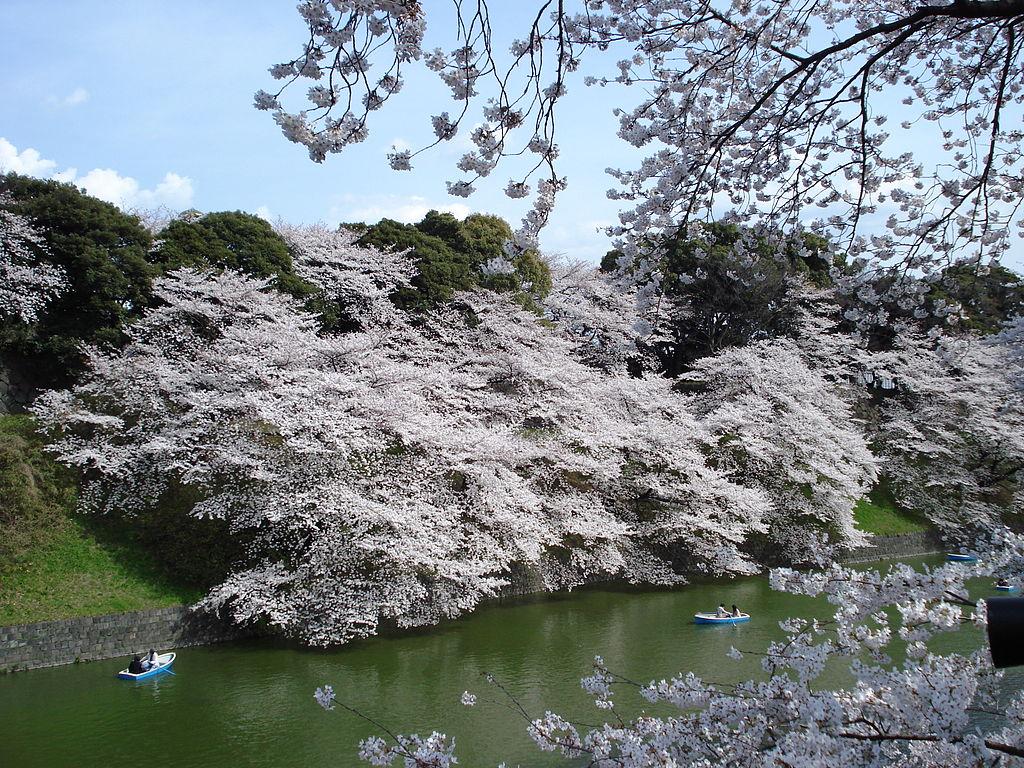 千鳥ヶ淵の桜__2