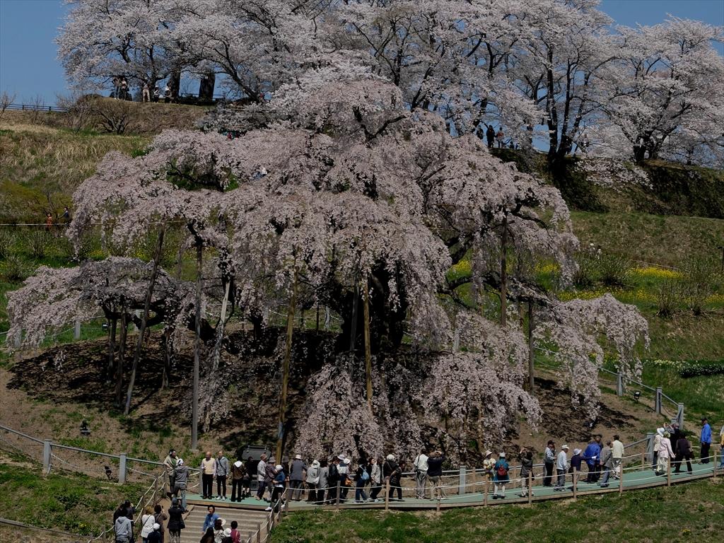 三春の滝桜_昨年の様子_3