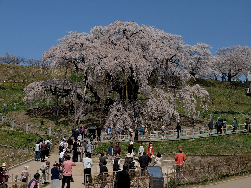 三春の滝桜_昨年の様子_4