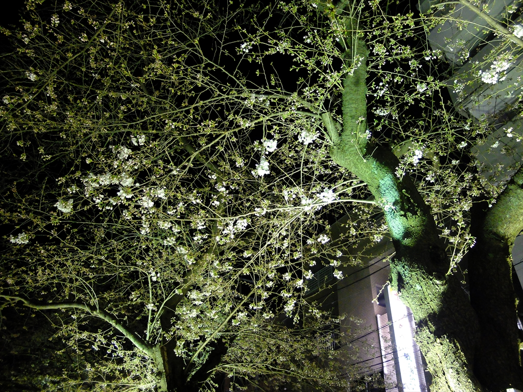 昨25日の桜_1