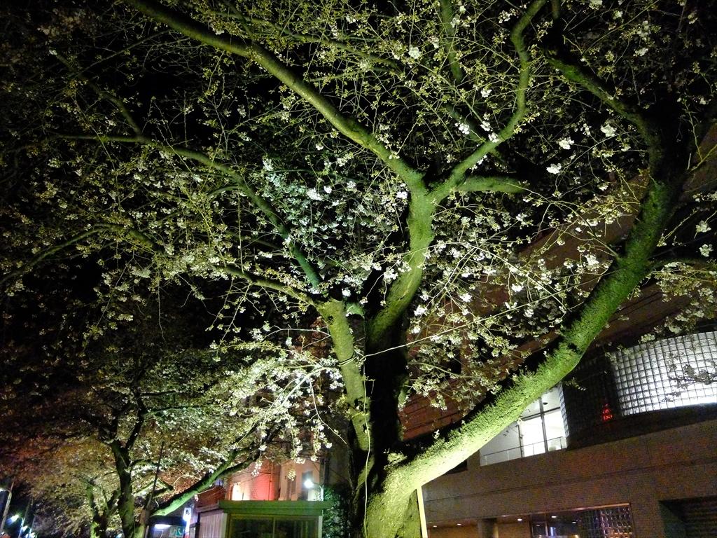 昨25日の桜_2
