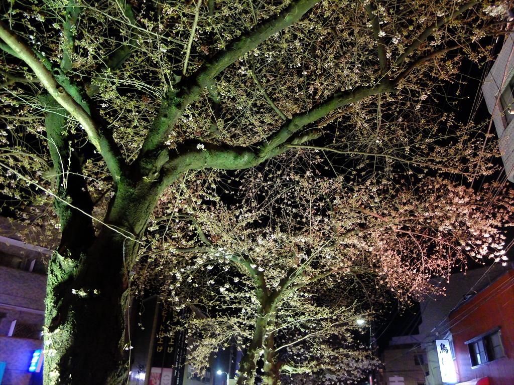 昨25日の桜_4