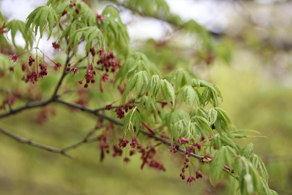 イロハモミジの若葉と花? or ヒナウチワカエデの若葉と花