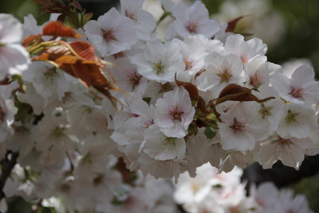 大島桜_1