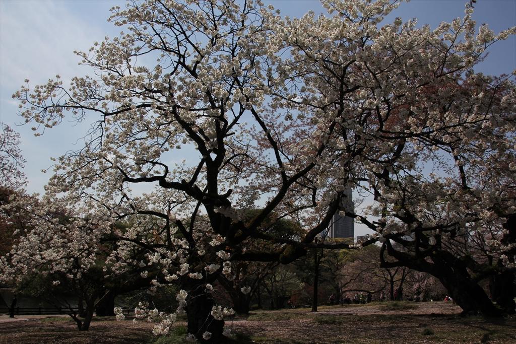 大島桜_2