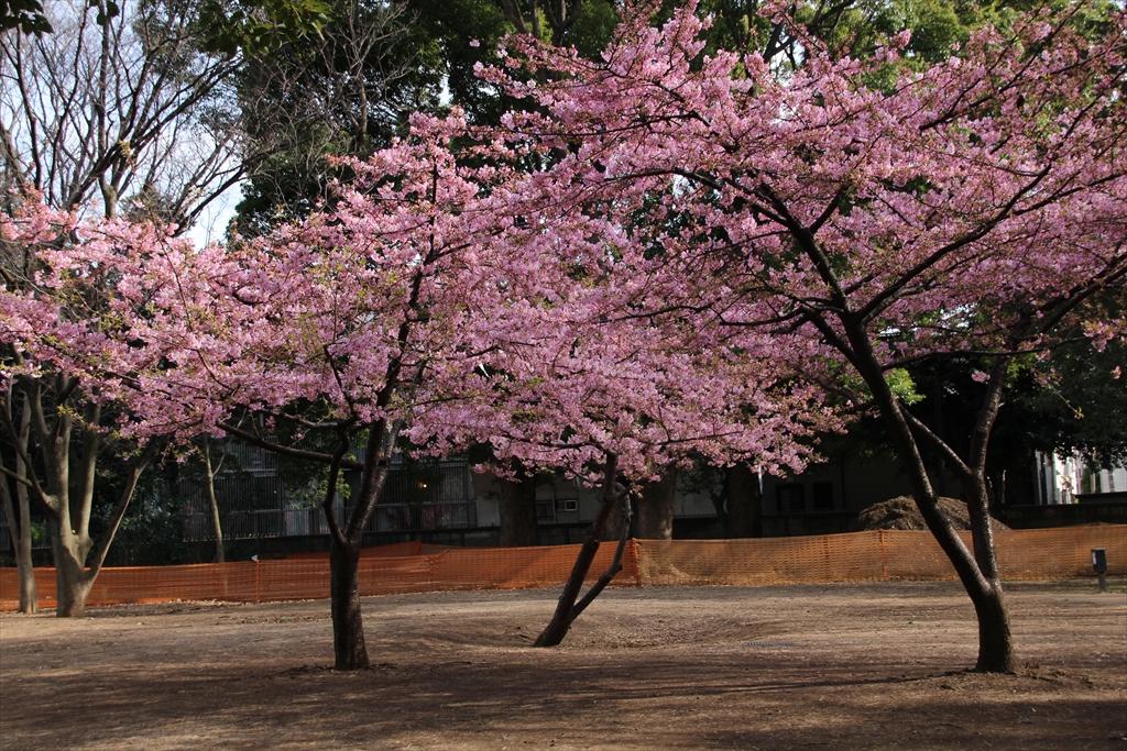 河津桜が咲いていた_1