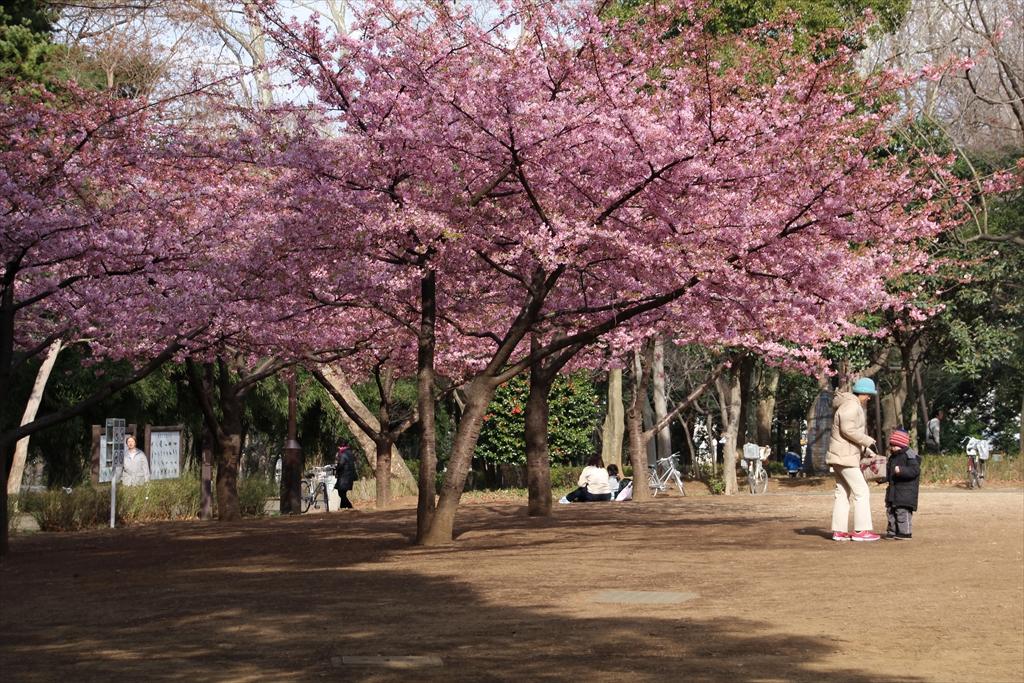 河津桜が咲いていた_2