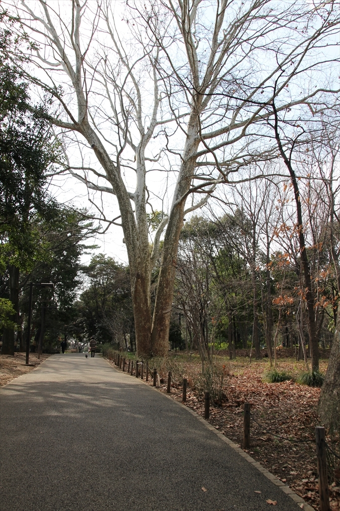 三つにわかれたプラタナスの巨木