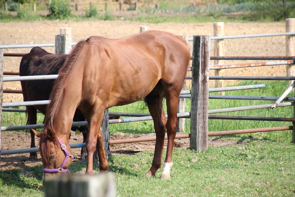 野馬追に出るために飼育されている馬さんたち_1