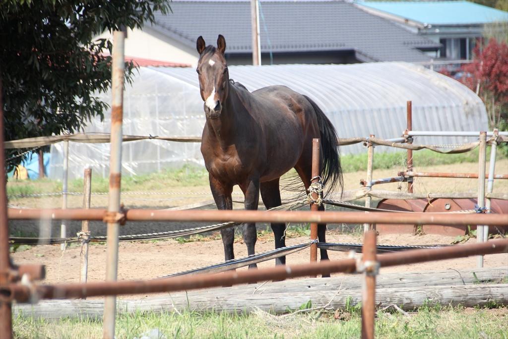 野馬追に出るために飼育されている馬さんたち_2