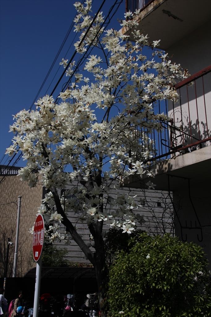 参道の途中にはハクモクレンの花_1