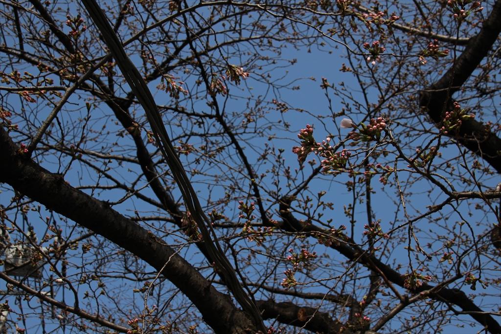 09時過ぎの桜_1