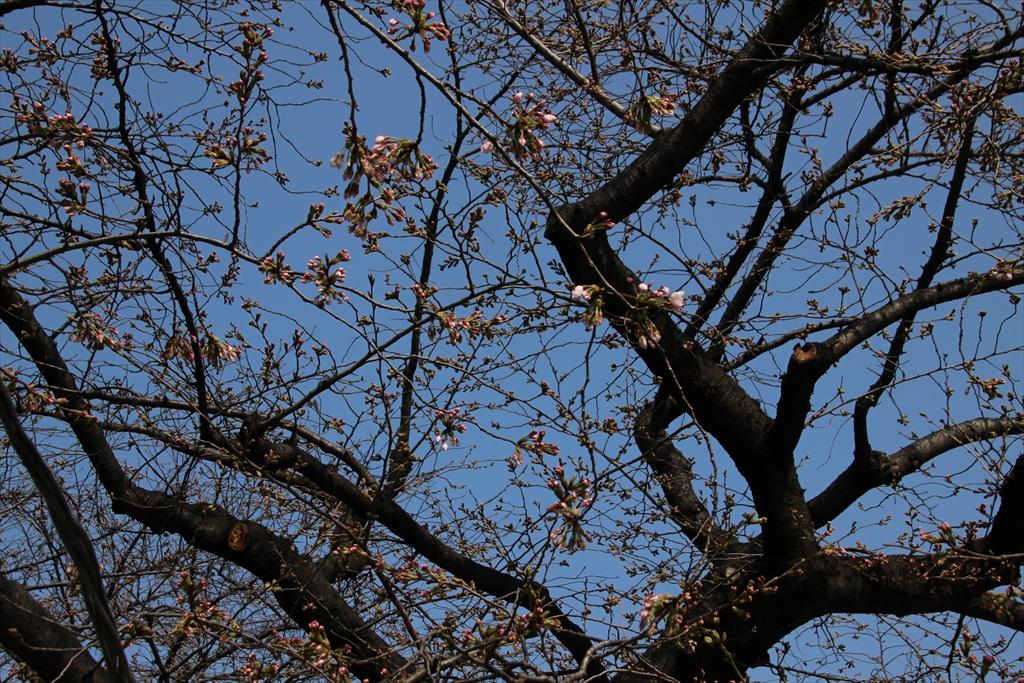 09時過ぎの桜_3
