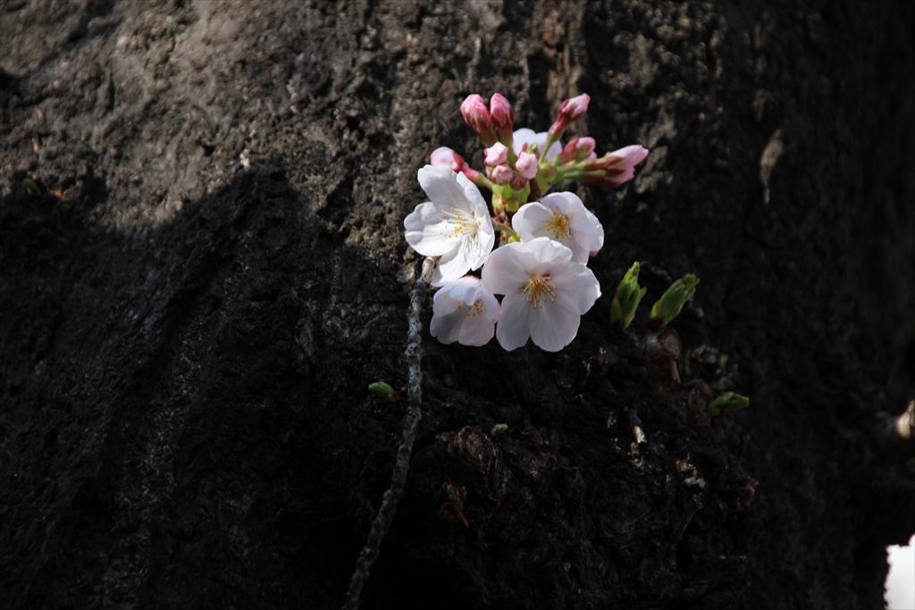 14時少し前の桜_4