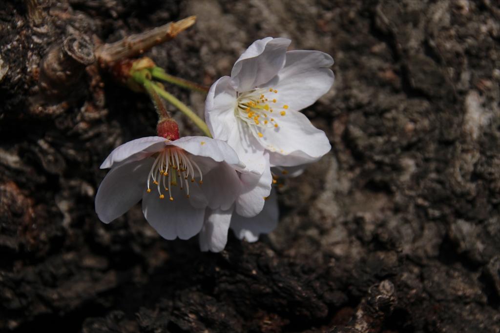 14時少し前の桜_6