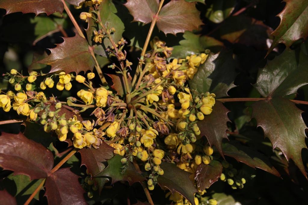 ヒイラギナンテンも少し前から開花している_1