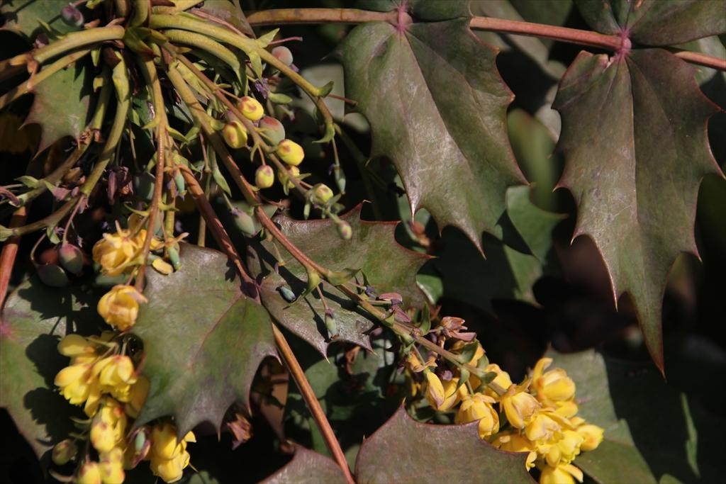 ヒイラギナンテンも少し前から開花している_2