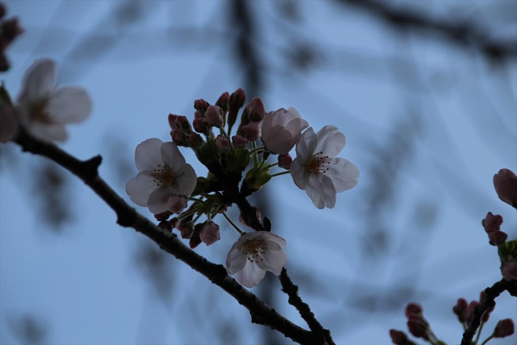 15時過ぎの桜_3