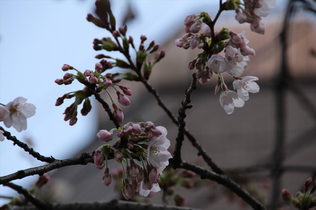 15時過ぎの桜_1