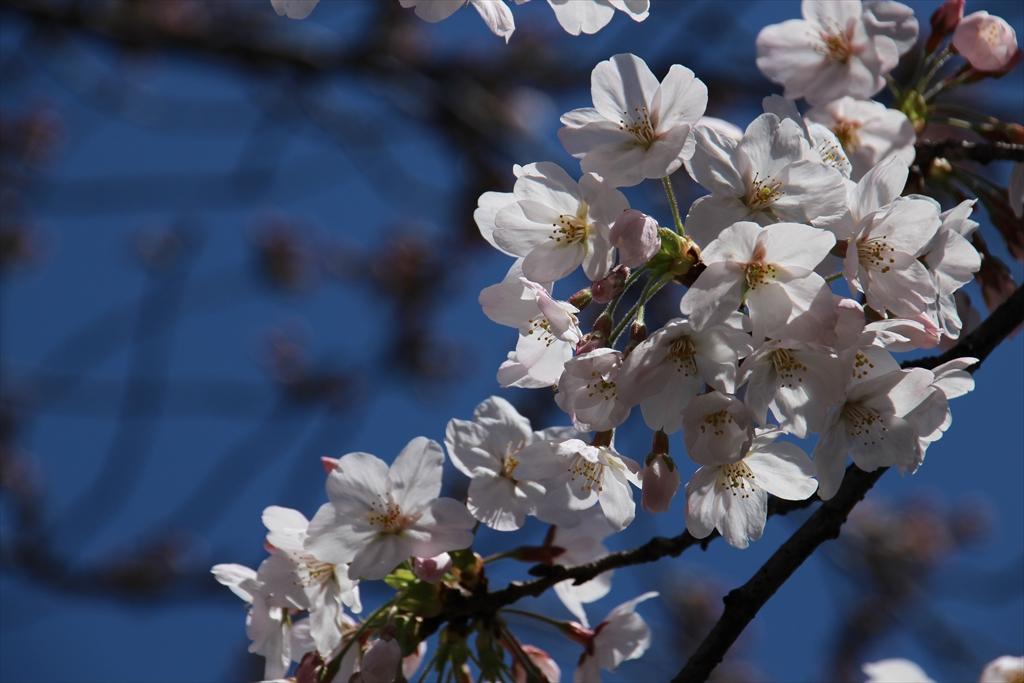 昨24日の桜_3