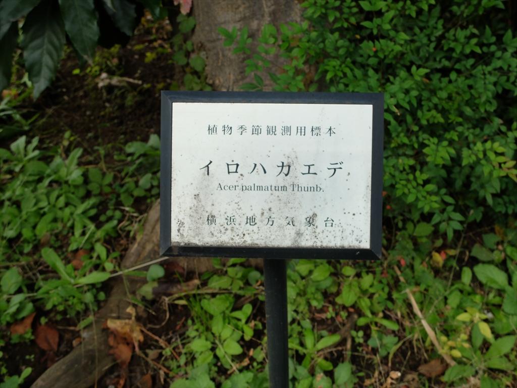 楓の標本木_2