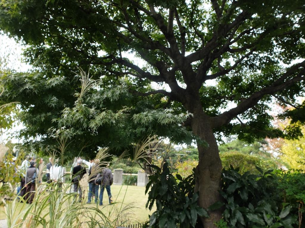 楓の標本木_1