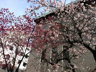 関内 八重桜 2015
