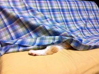 洗濯したてが好きな猫