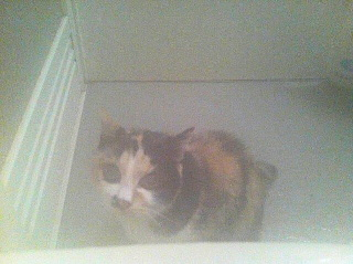お風呂好きな猫