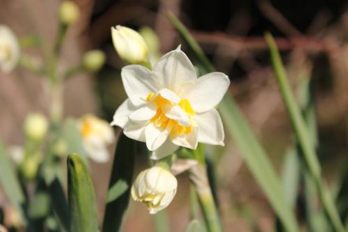 八重咲き寒水仙