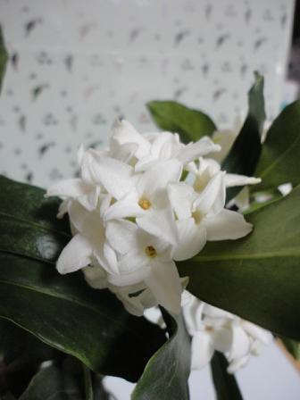 白花沈丁花