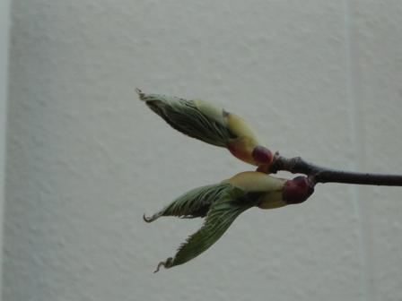 ハンカチノキの芽吹き