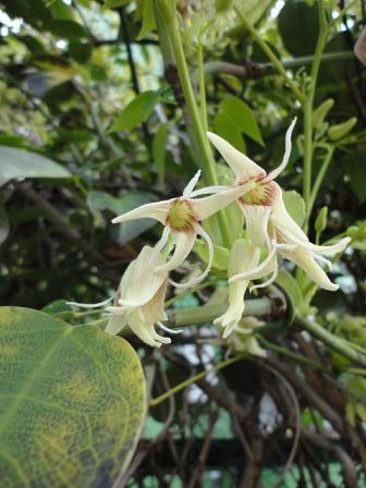 ムベの開花②