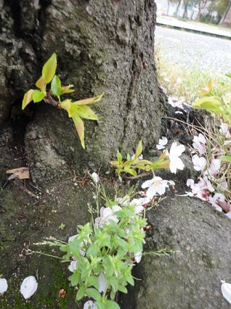 桜の根元から新芽