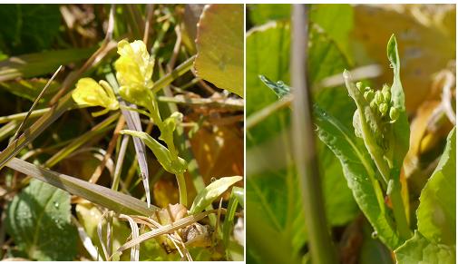 菜の花つぼみ