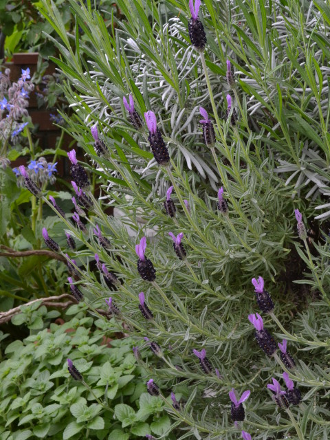 紫羽 フレンチラベンダー