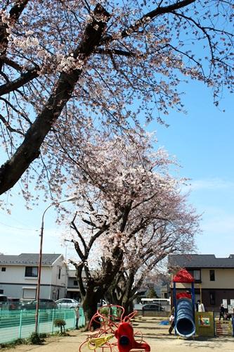 IMG_8916桜