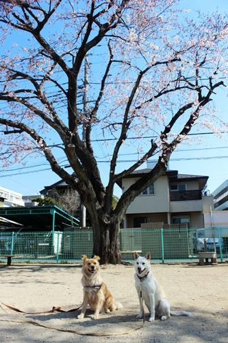 IMG_8913桜