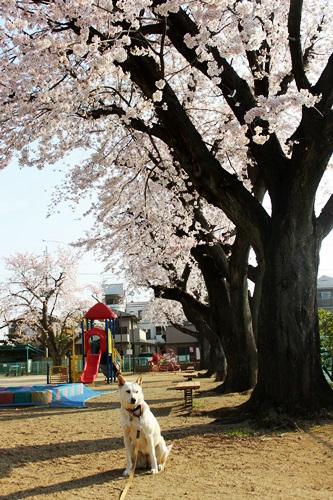 IMG_8969桜