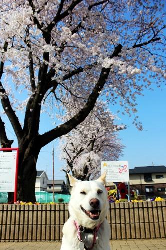 IMG_8978桜