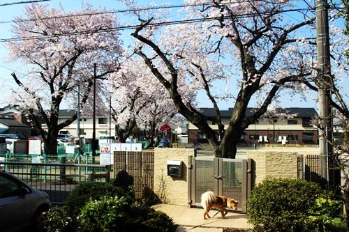 IMG_8979桜