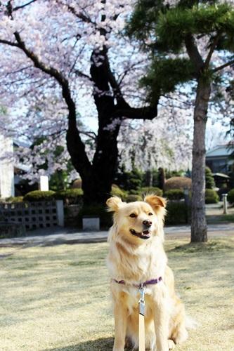 IMG_8982桜