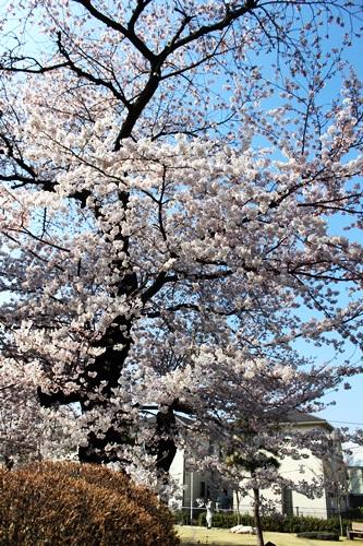 IMG_8995桜