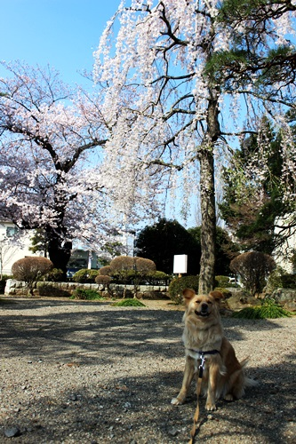 IMG_8988桜